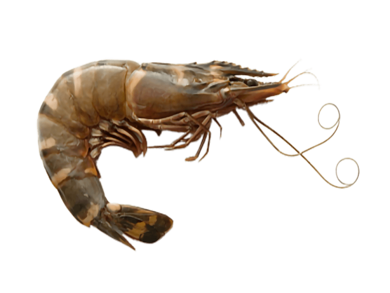 OT Head On Raw Shrimp