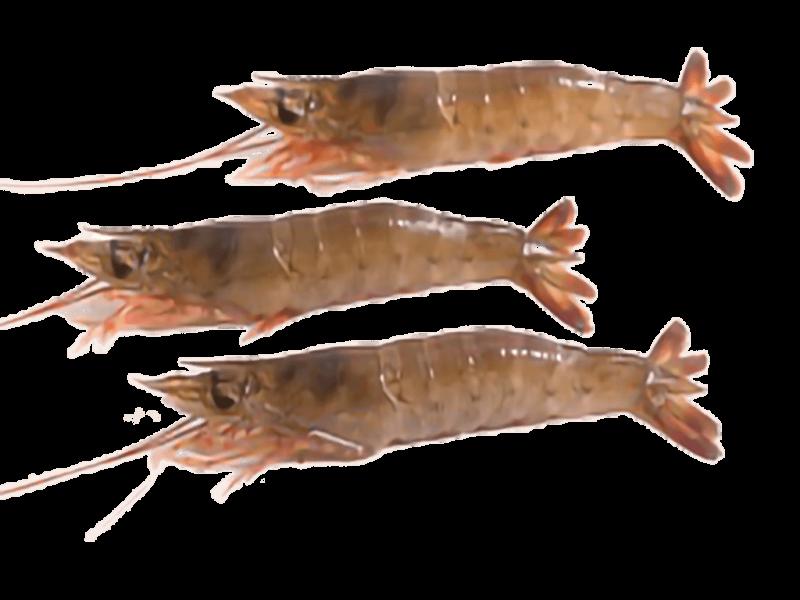 Sea Harina Head On Raw Shrimp