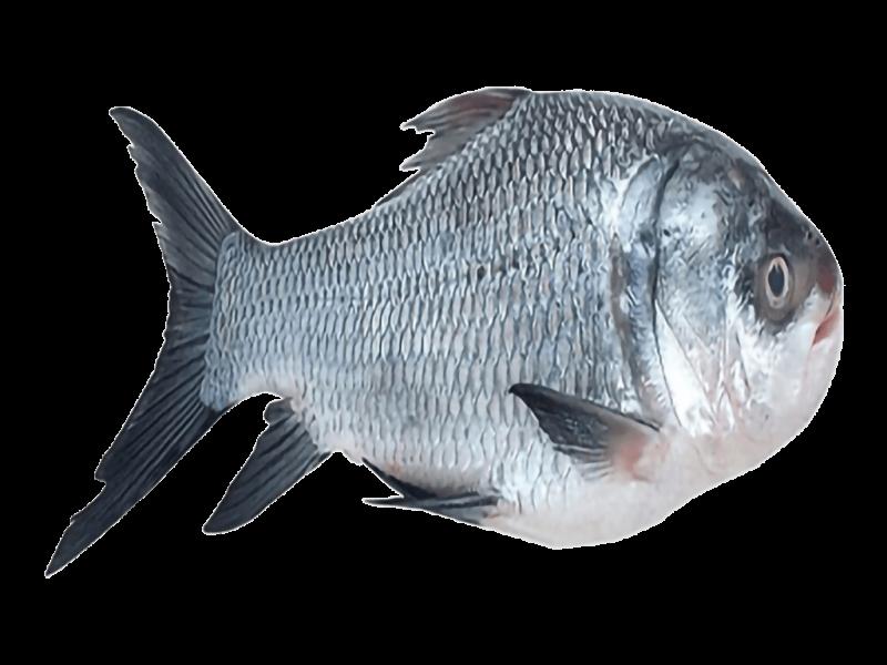 catla_fish