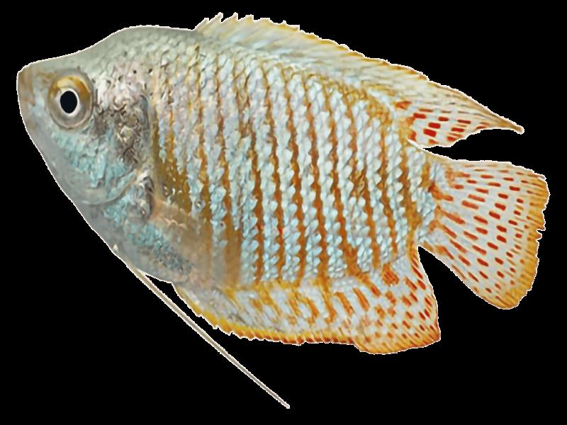 gourami-fish