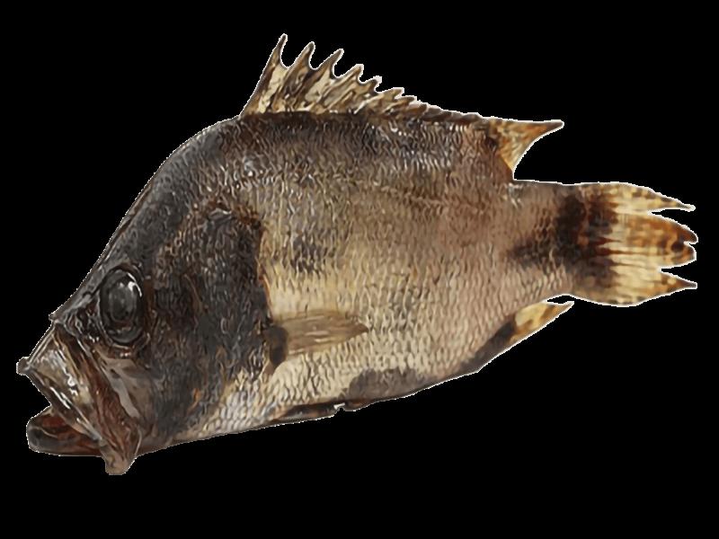 mottled-nandus-or-veda-fish